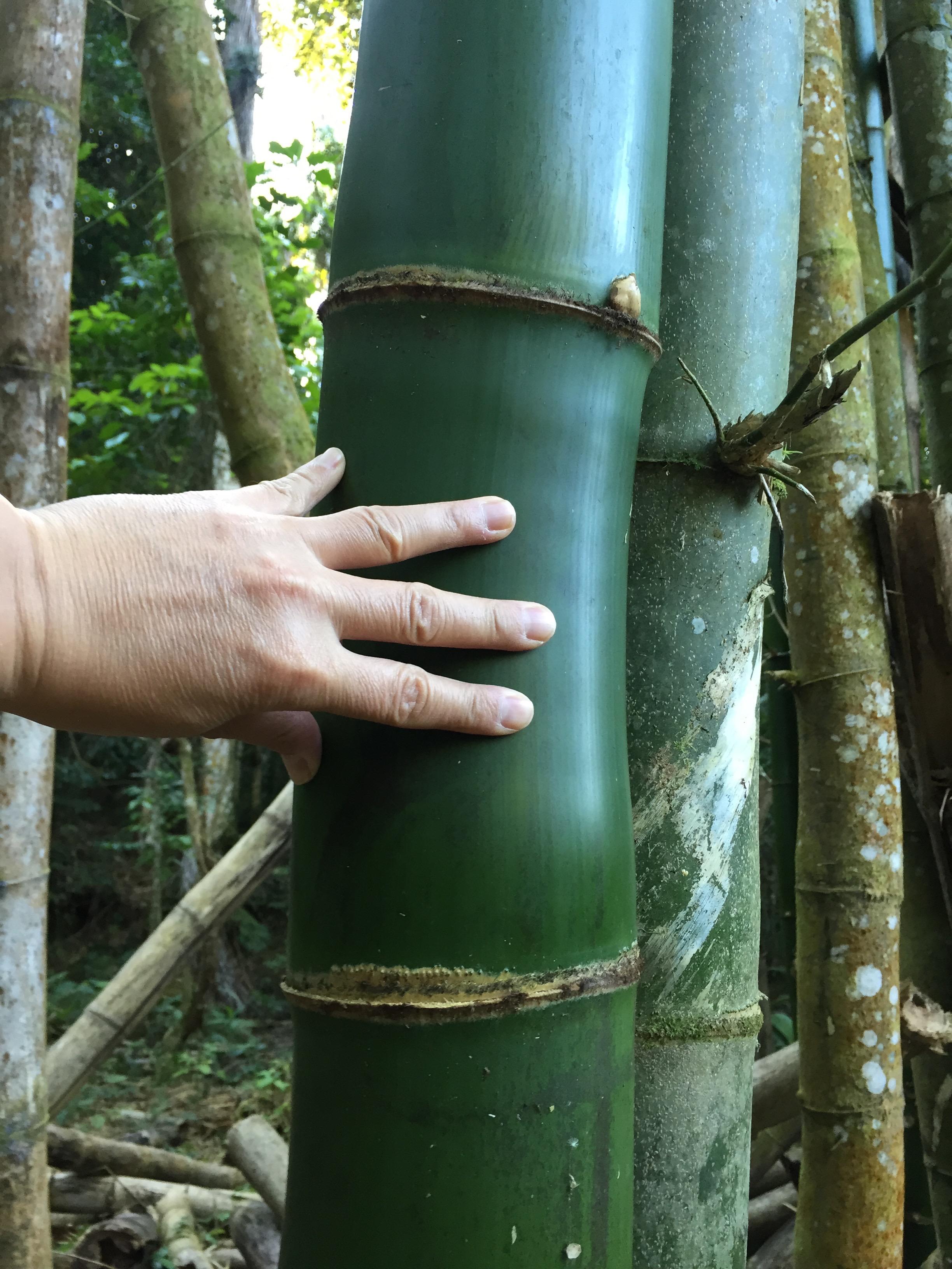 Bambus Kuba Regenwald